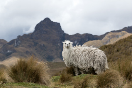 alpaca in Ecuador in Cajas national park looking at the viewer Stock Photo