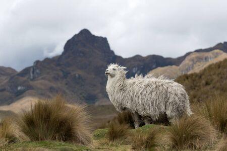 alpaca in the Andes of Ecuador