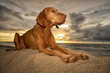 vizsla dog laying on athe beach  in Peru at sunset Stock Photo