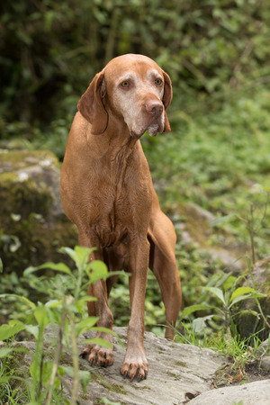 pure breed Hungarian vizsla dog on hike in the Colombian jungle in Valle de Cocora