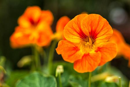 nasturtium or tropaeolum edible flower closeup Stok Fotoğraf