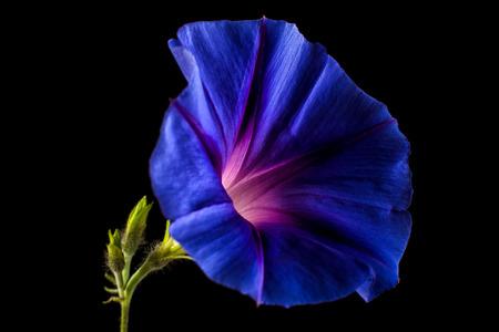 blue morning glory flower macro