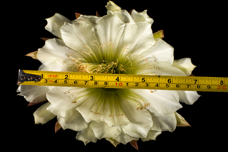echinopsis cactus flower macro details