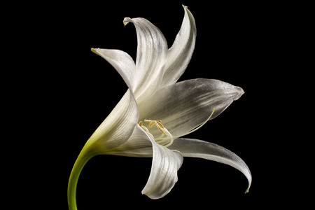 white lily flower closeup