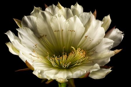 white echinopsis cactus flower