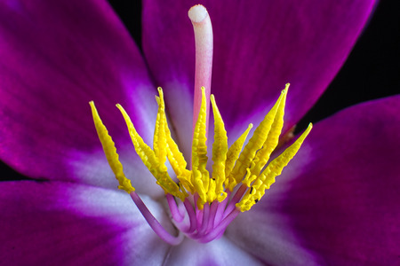 tibouchina flower macro 스톡 콘텐츠