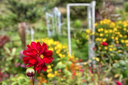 red dahlia in foreground in the garden