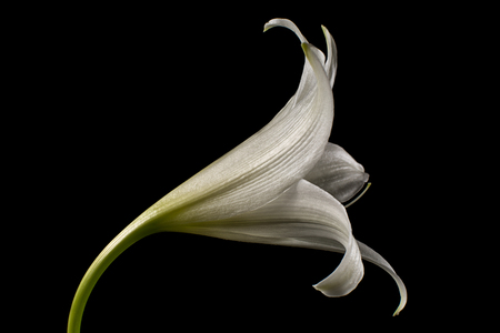 white lily flower macro