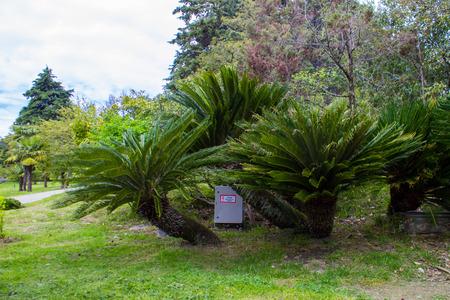 Cycas revoluta Sotetsu, sago palm, king sago, sago cycad, Japanese sago palm , is a species of gymnosperm in the family Cycadaceae.