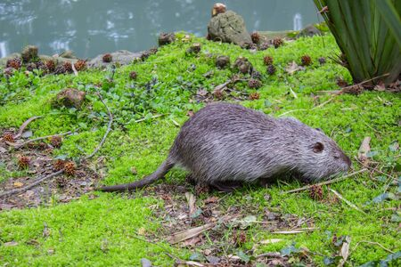 Nutria search for food near the river, harmful animal. Wild nutria inhabit ponds and rivers. Stock fotó