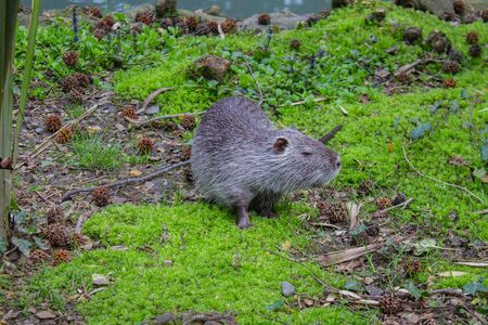 Coypu or nutria Myocastor coypus , is a large, herbivorous, semiaquatic rodent, it has become an invasive species in other parts of the world Banco de Imagens