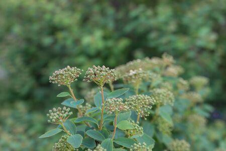 Fragrant chromium lat. Chromolaena odorata - perennial plant of the family Compositae, close-up.