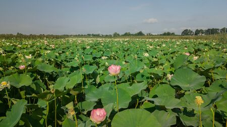 Pink lotus flower in the pond. Background is the lotus leaf and flowers. Фото со стока
