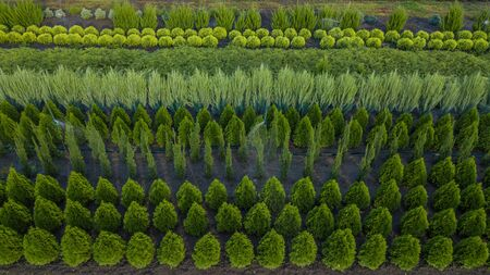 black pine, Crimean pine, Banks pine, balsam fir, solid fir, metasequoia, ordinary spruce, mountain pine, tree Farm in a rural country area of the state.