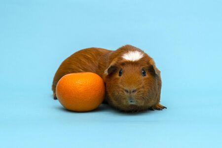 Modern cavy or guinea pig.