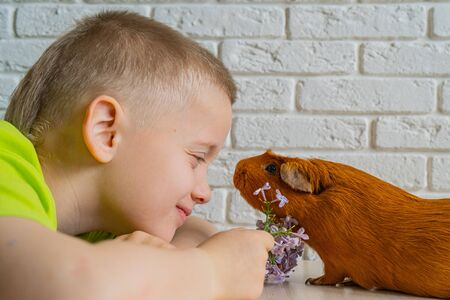 The boy and red domestic guinea pig Cavia porcellus , also known as cavy or domestic cavy Reklamní fotografie