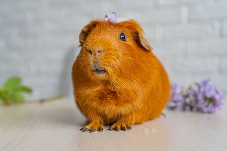 Species of rodent belonging to the family Caviidae and the genus Cavia Foto de archivo