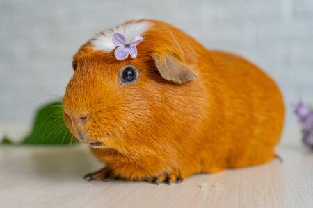 The red domestic guinea pig Cavia porcellus , also known as cavy or domestic cavy Reklamní fotografie