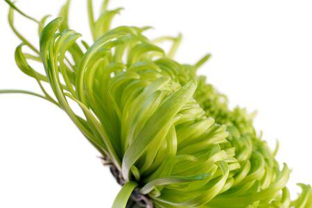 green shamrock chrysanthemum Stock Photo - 340261