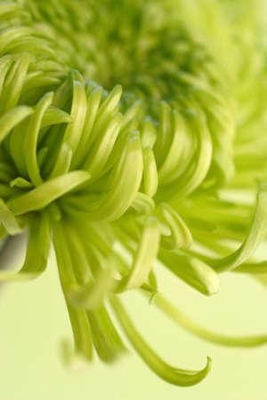 green shamrock chrysanthemum Stock Photo - 340264