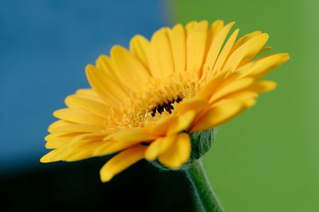 yellow gerbera flower photo