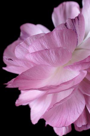 ranunculus: ranunculus pink flower