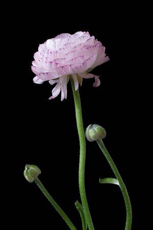 coy: ranunculus pink flower