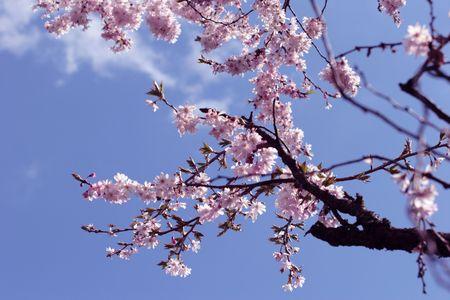 cherry branch: pink blossom