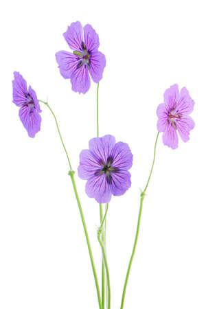 bunch of geraniums photo