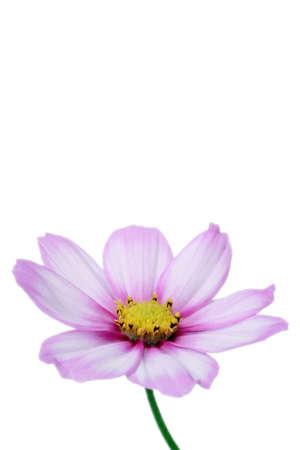 beautiful pastel pink cosmos photo