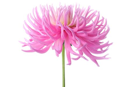 beautiful pastel pink dahlia flower photo