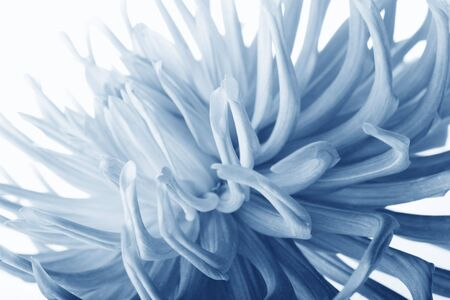 beautiful pastel blue dahlia flower