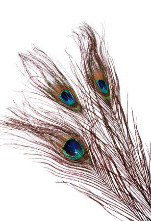 trio: tres plumas de pavo real, orgulloso como un pavo real