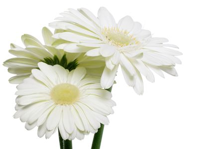 three white gerberas Stock Photo - 824428