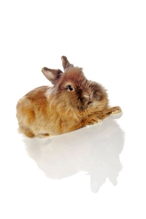 fluffy long haired lionhead rabbit photo