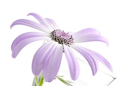 senecio: senetti, belongs to the daisy family