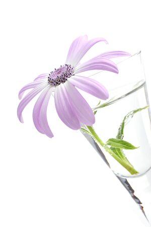 senetti, belongs to the daisy family