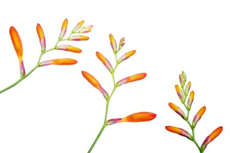 dainty: montbretia floral pattern, part of the iris . Stock Photo