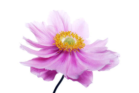 buttercup flower: beautiful pinky purple anemone flower Stock Photo