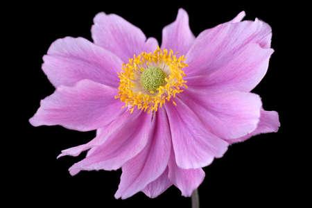 beautiful pinky purple anemone flower photo