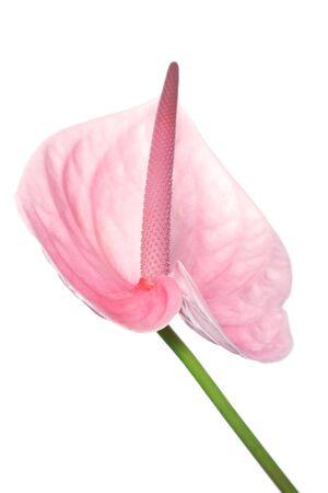 Anthurium rosa, specie di giglio arum  Archivio Fotografico - 1583075