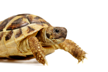 herman: herman tortoise with space for text