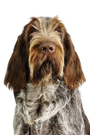spinone italiano puppy with serious expression
