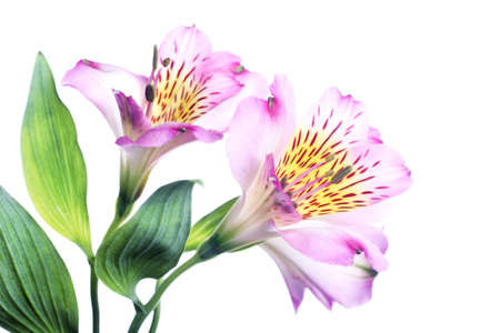 alstromeria: flowering alstromeria isolated on white