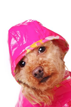 apricot poodle in bright pink raincoat