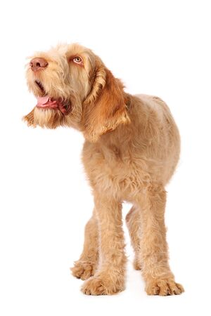 daft: spinone pup with humorous expression