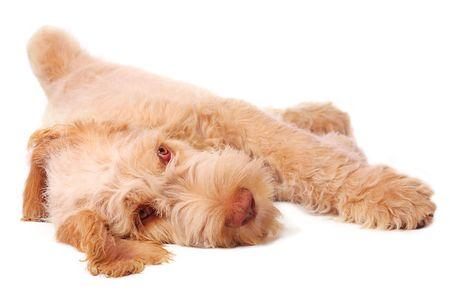 chilling out: Spinone cachorro, relajado y refrigeraci�n.