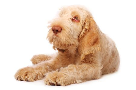 adorable italian spinone puppy with big sad eyes. Stock Photo