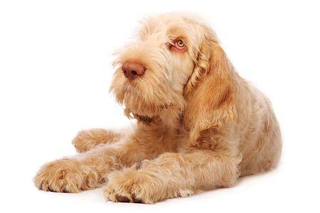 daft: adorable italian spinone puppy with big sad eyes. Stock Photo