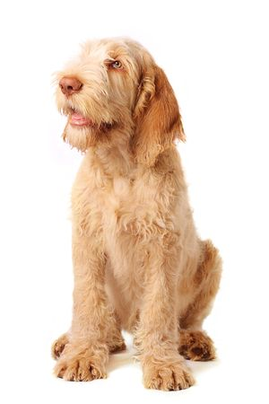 gorgeous italian spinone puppy being very obedient